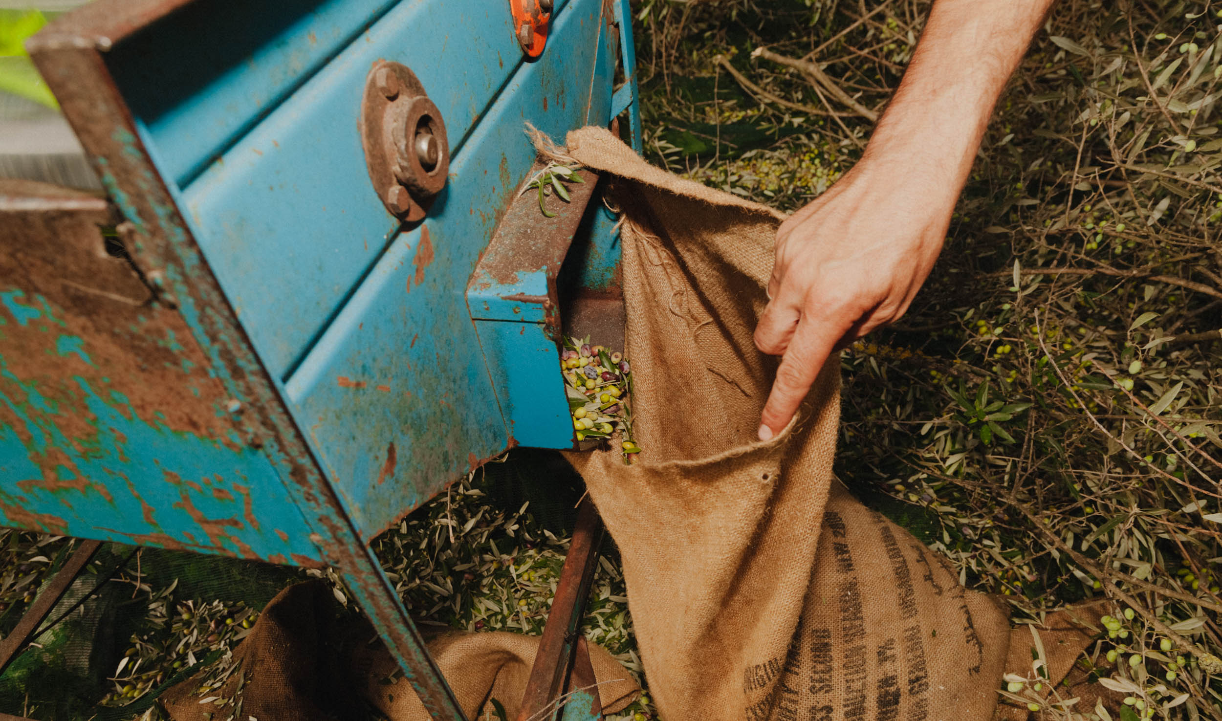 The vibrating machine delivers the harvested olives into the harvest sacks.