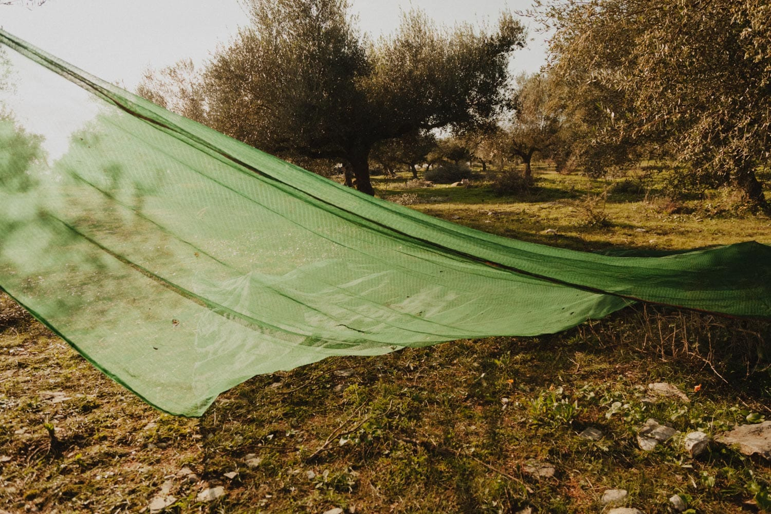 A harvest net is spread out under the olive trees that are to be harvested.